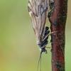Apsiuva - Brachycentrus subnubilus ♀ | Fotografijos autorius : Gintautas Steiblys | © Macrogamta.lt | Šis tinklapis priklauso bendruomenei kuri domisi makro fotografija ir fotografuoja gyvąjį makro pasaulį.