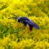 Bitė - Sphecodes sp.  | Fotografijos autorius : Vitalii Alekseev | © Macrogamta.lt | Šis tinklapis priklauso bendruomenei kuri domisi makro fotografija ir fotografuoja gyvąjį makro pasaulį.