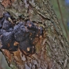 Įžulnusis skylenis (Beržo juodasis grybas ) -  Inonotus obliquus | Fotografijos autorius : Kęstutis Obelevičius | © Macrogamta.lt | Šis tinklapis priklauso bendruomenei kuri domisi makro fotografija ir fotografuoja gyvąjį makro pasaulį.