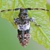 Dėmėtasis žabinukas - Pogonocherus fasciculatus | Fotografijos autorius : Gintautas Steiblys | © Macrogamta.lt | Šis tinklapis priklauso bendruomenei kuri domisi makro fotografija ir fotografuoja gyvąjį makro pasaulį.