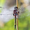 Šarvuotoji skėtė - Leucorrhinia pectoralis | Fotografijos autorius : Kazimieras Martinaitis | © Macrogamta.lt | Šis tinklapis priklauso bendruomenei kuri domisi makro fotografija ir fotografuoja gyvąjį makro pasaulį.