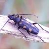 Šešiadėmis žieduolis - Anoplodera sexguttata | Fotografijos autorius : Romas Ferenca | © Macrogamta.lt | Šis tinklapis priklauso bendruomenei kuri domisi makro fotografija ir fotografuoja gyvąjį makro pasaulį.