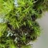 Šepšė - Orthotrichum sp. | Fotografijos autorius : Gintautas Steiblys | © Macrogamta.lt | Šis tinklapis priklauso bendruomenei kuri domisi makro fotografija ir fotografuoja gyvąjį makro pasaulį.
