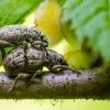 Šeriuotasis straubliukas - Strophosoma capitatum | Fotografijos autorius : Oskaras Venckus | © Macrogamta.lt | Šis tinklapis priklauso bendruomenei kuri domisi makro fotografija ir fotografuoja gyvąjį makro pasaulį.