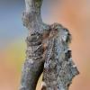 Šiaurinė odontozija - Odontosia sieversii | Fotografijos autorius : Arūnas Eismantas | © Macrogamta.lt | Šis tinklapis priklauso bendruomenei kuri domisi makro fotografija ir fotografuoja gyvąjį makro pasaulį.