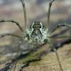 Šienpjovys - Mitopus morio | Fotografijos autorius : Gintautas Steiblys | © Macrogamta.lt | Šis tinklapis priklauso bendruomenei kuri domisi makro fotografija ir fotografuoja gyvąjį makro pasaulį.