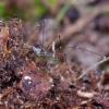 Šienpjovys - Mitostoma chrysomelas | Fotografijos autorius : Romas Ferenca | © Macrogamta.lt | Šis tinklapis priklauso bendruomenei kuri domisi makro fotografija ir fotografuoja gyvąjį makro pasaulį.