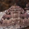 Šilkasparnis sprindžius - Triphosa dubitata | Fotografijos autorius : Žilvinas Pūtys | © Macrogamta.lt | Šis tinklapis priklauso bendruomenei kuri domisi makro fotografija ir fotografuoja gyvąjį makro pasaulį.