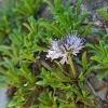 Širdžialapis krekesas - Globularia cordifolia | Fotografijos autorius : Gintautas Steiblys | © Macrogamta.lt | Šis tinklapis priklauso bendruomenei kuri domisi makro fotografija ir fotografuoja gyvąjį makro pasaulį.