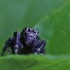 Šokliavoris - Salticidae | Fotografijos autorius : Agnė Našlėnienė | © Macrogamta.lt | Šis tinklapis priklauso bendruomenei kuri domisi makro fotografija ir fotografuoja gyvąjį makro pasaulį.