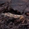Šoklusis pirmažandis - Machilidae | Fotografijos autorius : Žilvinas Pūtys | © Macrogamta.lt | Šis tinklapis priklauso bendruomenei kuri domisi makro fotografija ir fotografuoja gyvąjį makro pasaulį.