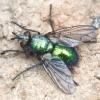 Žalioji dygliamusė - Gymnocheta viridis | Fotografijos autorius : Romas Ferenca | © Macrogamta.lt | Šis tinklapis priklauso bendruomenei kuri domisi makro fotografija ir fotografuoja gyvąjį makro pasaulį.