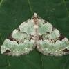 Žalioji kolostygija - Colostygia pectinataria | Fotografijos autorius : Žilvinas Pūtys | © Macrogamta.lt | Šis tinklapis priklauso bendruomenei kuri domisi makro fotografija ir fotografuoja gyvąjį makro pasaulį.
