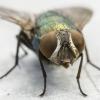 Žalioji lavonmusė | Lucilia sp. | Fotografijos autorius : Darius Baužys | © Macrogamta.lt | Šis tinklapis priklauso bendruomenei kuri domisi makro fotografija ir fotografuoja gyvąjį makro pasaulį.