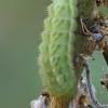 Žalsvasis varinukas - Callophrys rubi, vikšras | Fotografijos autorius : Gintautas Steiblys | © Macrogamta.lt | Šis tinklapis priklauso bendruomenei kuri domisi makro fotografija ir fotografuoja gyvąjį makro pasaulį.