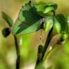 Žalsvasis varinukas - Callophrys rubi   Fotografijos autorius : Vidas Brazauskas   © Macrogamta.lt   Šis tinklapis priklauso bendruomenei kuri domisi makro fotografija ir fotografuoja gyvąjį makro pasaulį.