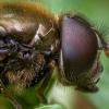 Žalutė - Cheilosia chloris ♂ | Fotografijos autorius : Žilvinas Pūtys | © Macrogamta.lt | Šis tinklapis priklauso bendruomenei kuri domisi makro fotografija ir fotografuoja gyvąjį makro pasaulį.