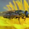 Žalutė - Cheilosia fraterna♀ | Fotografijos autorius : Žilvinas Pūtys | © Macrogamta.lt | Šis tinklapis priklauso bendruomenei kuri domisi makro fotografija ir fotografuoja gyvąjį makro pasaulį.