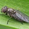 Žalutė - Cheilosia fasciata ♀ | Fotografijos autorius : Gintautas Steiblys | © Macrogamta.lt | Šis tinklapis priklauso bendruomenei kuri domisi makro fotografija ir fotografuoja gyvąjį makro pasaulį.