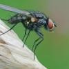 Žiedenė - Botanophila cf. fugax | Fotografijos autorius : Gintautas Steiblys | © Macrogamta.lt | Šis tinklapis priklauso bendruomenei kuri domisi makro fotografija ir fotografuoja gyvąjį makro pasaulį.