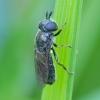 Žiedmusė - Pipizella maculipennis | Fotografijos autorius : Romas Ferenca | © Macrogamta.lt | Šis tinklapis priklauso bendruomenei kuri domisi makro fotografija ir fotografuoja gyvąjį makro pasaulį.