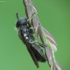 Žiedmusė - Pipizella sp. | Fotografijos autorius : Vidas Brazauskas | © Macrogamta.lt | Šis tinklapis priklauso bendruomenei kuri domisi makro fotografija ir fotografuoja gyvąjį makro pasaulį.