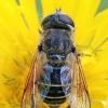 Bitmusė - Eristalis arbustorum ♀ | Fotografijos autorius : Gintautas Steiblys | © Macrogamta.lt | Šis tinklapis priklauso bendruomenei kuri domisi makro fotografija ir fotografuoja gyvąjį makro pasaulį.