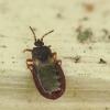 Žieviablakė - Aneurus sp. | Fotografijos autorius : Vidas Brazauskas | © Macrogamta.lt | Šis tinklapis priklauso bendruomenei kuri domisi makro fotografija ir fotografuoja gyvąjį makro pasaulį.