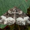 Žliūginė cidarija - Euphyia unangulata | Fotografijos autorius : Žilvinas Pūtys | © Macrogamta.lt | Šis tinklapis priklauso bendruomenei kuri domisi makro fotografija ir fotografuoja gyvąjį makro pasaulį.
