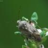Įvairiaspalvė žolblakė - Lygus rugulipennis | Fotografijos autorius : Vidas Brazauskas | © Macrogamta.lt | Šis tinklapis priklauso bendruomenei kuri domisi makro fotografija ir fotografuoja gyvąjį makro pasaulį.
