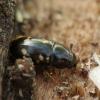 Žvilgvabalis - Glischrochilus quadriguttatus | Fotografijos autorius : Vidas Brazauskas | © Macrogamta.lt | Šis tinklapis priklauso bendruomenei kuri domisi makro fotografija ir fotografuoja gyvąjį makro pasaulį.