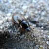 Afodijus - Aphodius (Volinus) sticticus | Fotografijos autorius : Vitalii Alekseev | © Macrogamta.lt | Šis tinklapis priklauso bendruomenei kuri domisi makro fotografija ir fotografuoja gyvąjį makro pasaulį.