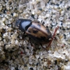 Afodijus - Chilothorax (Aphodius) distinctus (Müller, 1776)  | Fotografijos autorius : Vitalii Alekseev | © Macrogamta.lt | Šis tinklapis priklauso bendruomenei kuri domisi makro fotografija ir fotografuoja gyvąjį makro pasaulį.