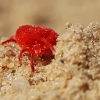 Aksominė erkė – Trombidium holosericeum | Fotografijos autorius : Agnė Našlėnienė | © Macrogamta.lt | Šis tinklapis priklauso bendruomenei kuri domisi makro fotografija ir fotografuoja gyvąjį makro pasaulį.