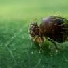 Allacma fusca - Rutuliškoji podūra | Fotografijos autorius : Oskaras Venckus | © Macrogamta.lt | Šis tinklapis priklauso bendruomenei kuri domisi makro fotografija ir fotografuoja gyvąjį makro pasaulį.