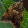 Alyvinis lapsukis - Pseudargyrotoza conwagana   Fotografijos autorius : Eglė Vičiuvienė (Černevičiūtė)   © Macrogamta.lt   Šis tinklapis priklauso bendruomenei kuri domisi makro fotografija ir fotografuoja gyvąjį makro pasaulį.