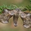 Amūrinis sfinksas - Laothoe amurensis | Fotografijos autorius : Gintautas Steiblys | © Macrogamta.lt | Šis tinklapis priklauso bendruomenei kuri domisi makro fotografija ir fotografuoja gyvąjį makro pasaulį.