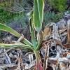 Amerikinė agava - Agave americana | Fotografijos autorius : Gintautas Steiblys | © Macrogamta.lt | Šis tinklapis priklauso bendruomenei kuri domisi makro fotografija ir fotografuoja gyvąjį makro pasaulį.