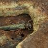 Ankstyvė - Nemoura sp. ♀ | Fotografijos autorius : Žilvinas Pūtys | © Macrogamta.lt | Šis tinklapis priklauso bendruomenei kuri domisi makro fotografija ir fotografuoja gyvąjį makro pasaulį.