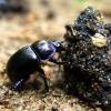 Miškinis mėšlavabalis - Anoplotrupes stercorosus | Fotografijos autorius : Vitalii Alekseev | © Macrogamta.lt | Šis tinklapis priklauso bendruomenei kuri domisi makro fotografija ir fotografuoja gyvąjį makro pasaulį.