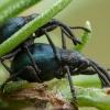 Apionas - Taphrotopium sulcifrons | Fotografijos autorius : Žilvinas Pūtys | © Macrogamta.lt | Šis tinklapis priklauso bendruomenei kuri domisi makro fotografija ir fotografuoja gyvąjį makro pasaulį.