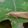 Apsiuva - Grammotaulius nigropunctatus ♀ | Fotografijos autorius : Žilvinas Pūtys | © Macrogamta.lt | Šis tinklapis priklauso bendruomenei kuri domisi makro fotografija ir fotografuoja gyvąjį makro pasaulį.