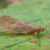 Apsiuva - Halesus digitatus ♀ | Fotografijos autorius : Žilvinas Pūtys | © Macrogamta.lt | Šis tinklapis priklauso bendruomenei kuri domisi makro fotografija ir fotografuoja gyvąjį makro pasaulį.