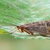 Apsiuva - Halesus tesselatus ♀ | Fotografijos autorius : Gintautas Steiblys | © Macrogamta.lt | Šis tinklapis priklauso bendruomenei kuri domisi makro fotografija ir fotografuoja gyvąjį makro pasaulį.