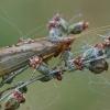 Apsiuva - Limnephilus flavicornis ♀   Fotografijos autorius : Gintautas Steiblys   © Macrogamta.lt   Šis tinklapis priklauso bendruomenei kuri domisi makro fotografija ir fotografuoja gyvąjį makro pasaulį.