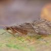 Apsiuva - Rhyacophila fasciata ♂ | Fotografijos autorius : Žilvinas Pūtys | © Macrogamta.lt | Šis tinklapis priklauso bendruomenei kuri domisi makro fotografija ir fotografuoja gyvąjį makro pasaulį.