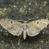 Apyninis sprindytis - Eupithecia assimilata   Fotografijos autorius : Vidas Brazauskas   © Macrogamta.lt   Šis tinklapis priklauso bendruomenei kuri domisi makro fotografija ir fotografuoja gyvąjį makro pasaulį.