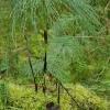 Miškinis asiūklis - Equisetum sylvaticum | Fotografijos autorius : Gintautas Steiblys | © Macrogamta.lt | Šis tinklapis priklauso bendruomenei kuri domisi makro fotografija ir fotografuoja gyvąjį makro pasaulį.