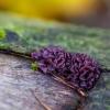 Askokorina - Ascocoryne sp. | Fotografijos autorius : Eglė Vičiuvienė | © Macrogamta.lt | Šis tinklapis priklauso bendruomenei kuri domisi makro fotografija ir fotografuoja gyvąjį makro pasaulį.