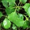 Apskritalapė kriaušlapė - Pyrola rotundifolia | Fotografijos autorius : Ramunė Vakarė | © Macrogamta.lt | Šis tinklapis priklauso bendruomenei kuri domisi makro fotografija ir fotografuoja gyvąjį makro pasaulį.